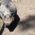 Fettes Schwein von der Grillranch