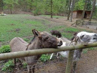 Esel im Naturpark Sparbach