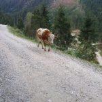 Kuh im Habachtal
