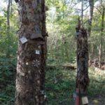 Benagelte Bäume im Prater