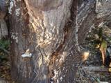 Schwammerln am Baumstamm