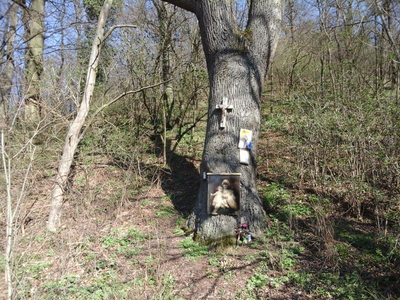 Bildeiche am Walderlebnispfad
