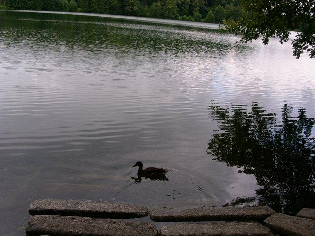 Ente am Moosweiher