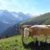Kühe auf der Eggalm