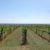 Weinberge bei Matzen