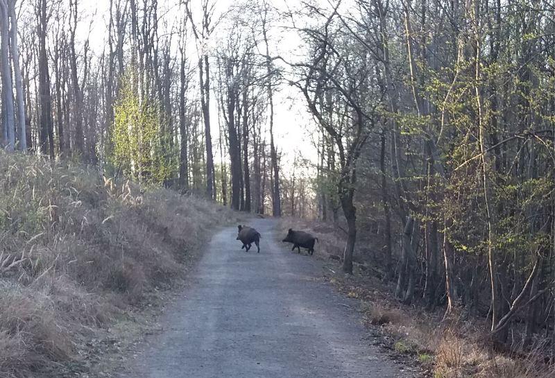 Wildschweine in Lainz