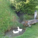 Enten am Brunnen