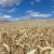 Weizenfeld bei Jedenspeigen