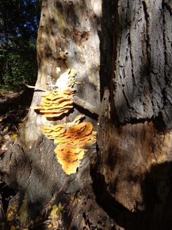 Schwammerln am Baum
