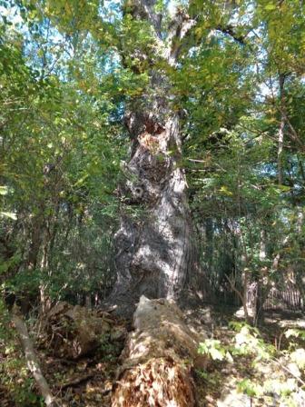 Alter Baum im Prater