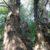 Urwaldbaum in den Donauauen