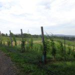 Weinbau in der Oststeiermark