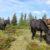Wildpferde am Saukar
