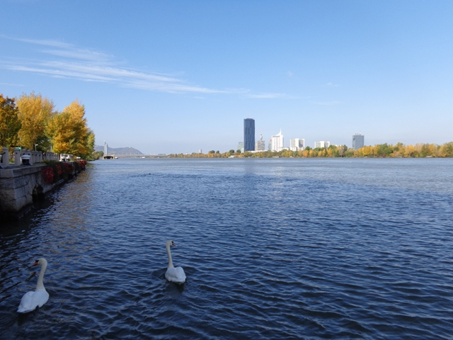 Zwei Donauschwäne