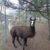 Lamas bei der Grillranch