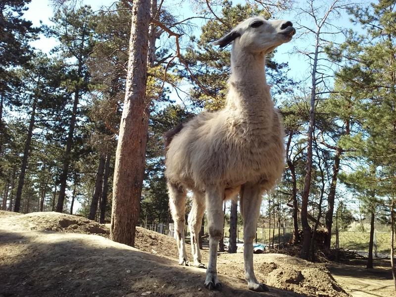 Lama bei der Ranch