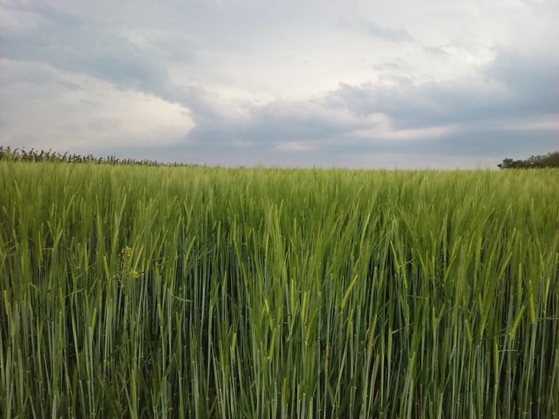 Getreide und Regenwolken