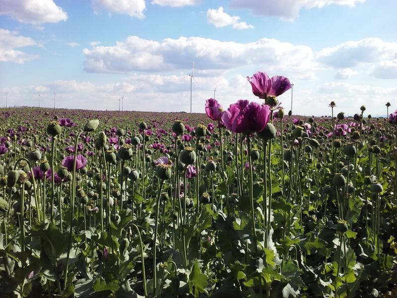Feldblumen bei Parbasdorf