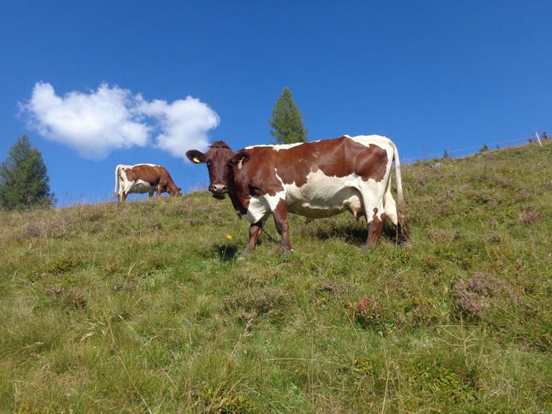 Kuh bei der Bichlalm