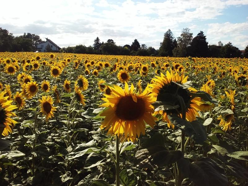 Sonnenblumen am Siehdichfür Weg
