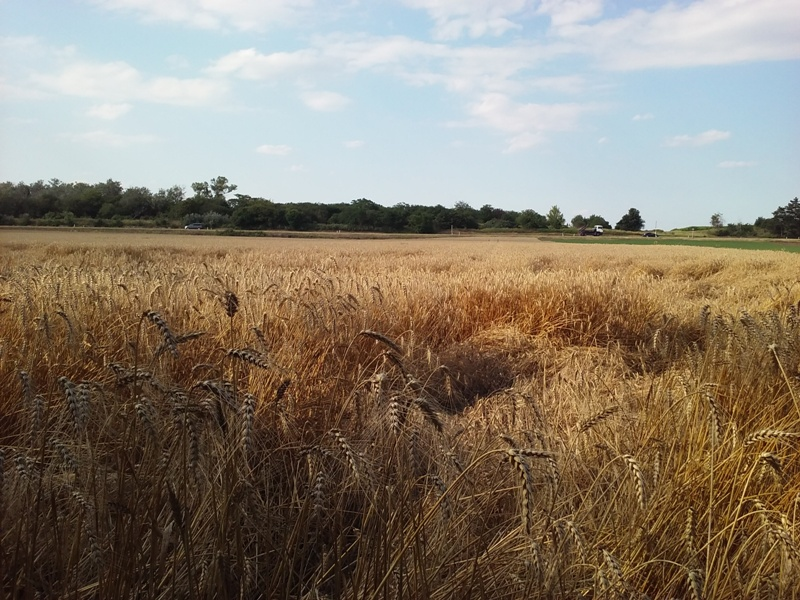 Getreidefeld bei Deutsch Wagram