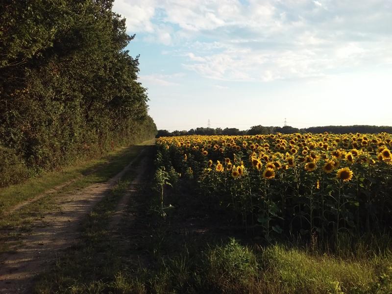 Sonnenblumen bei Helmahof