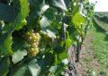 Ebenthaler Wein