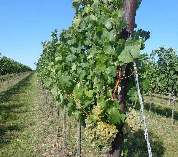 Weinstöcke bei Ebenthal