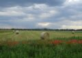 Mohnblumen beim Stallingerfeld