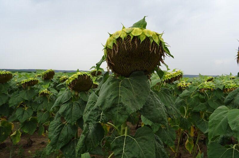 Sonnenblume bei Riedenthal