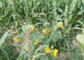 Blumen im Mais